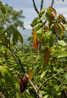 Cacao growing in Colombia