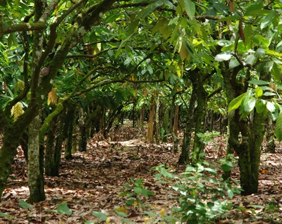 A Nazario Rizek plantation in the San Francisco de Macorís region