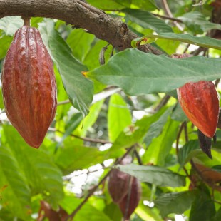 The rediscovery of cacao