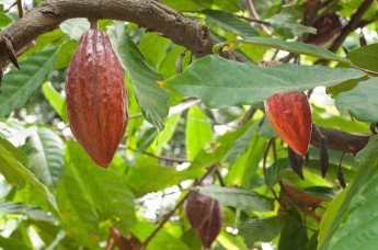 Trinitario cacao, Ecuador
