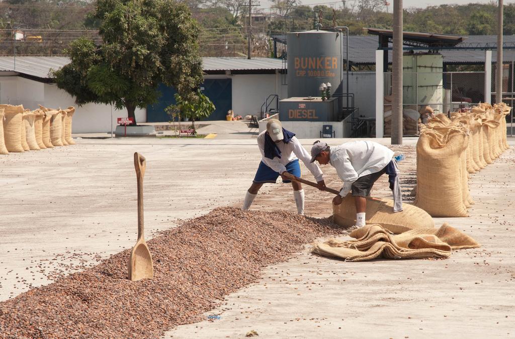 Bagging dried cacao, Ecuador