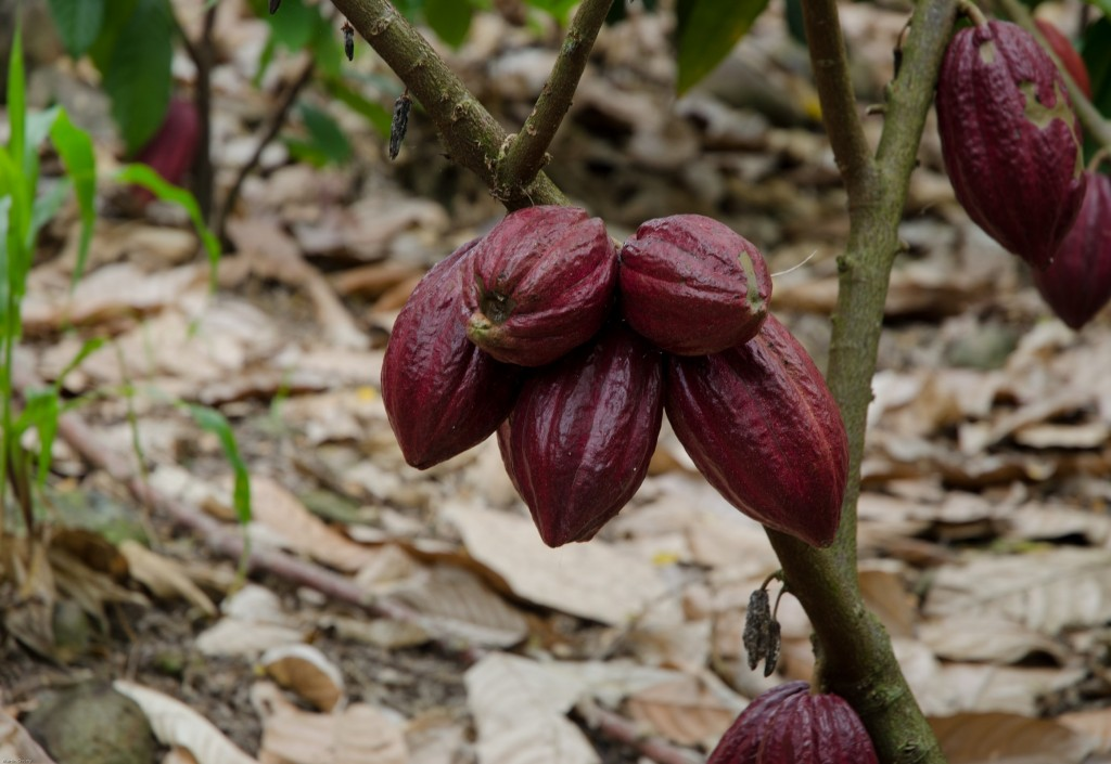 Mayan Red cacao pods